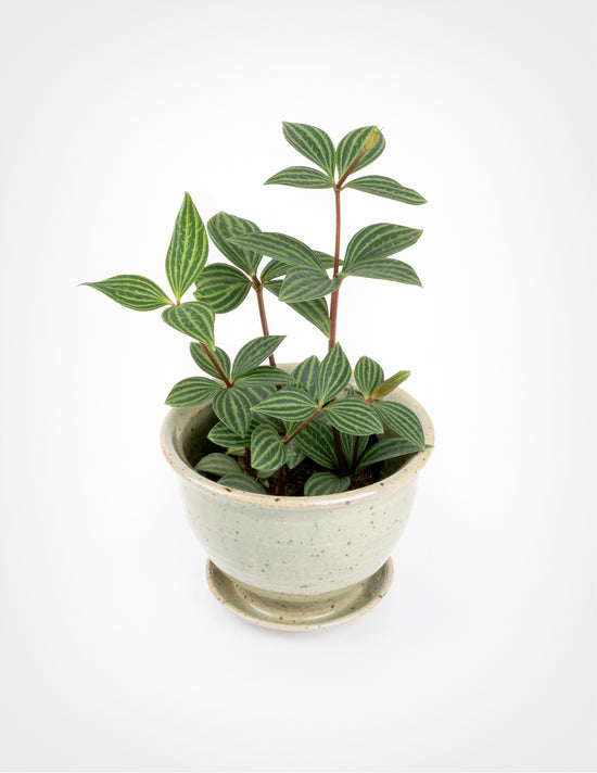 Our 10 Favorite Pet Safe Indoor Plants And 7 To Avoid Pistils Nursery