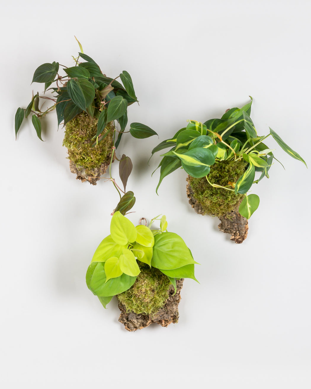 philodendron aroid green araceae trailing vining hanging wall décor decor natural variegated micans sphagnum cork moss