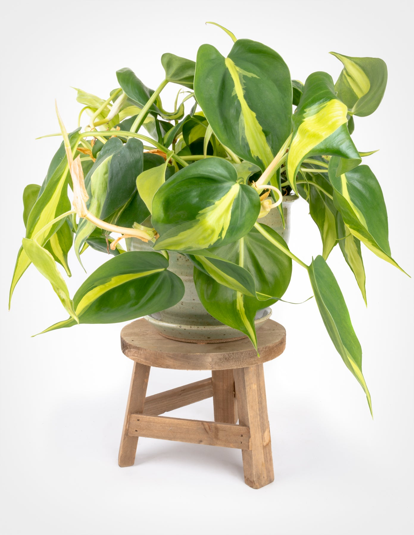 Pack of 4 HeartLeaf Philodendron Brasil /& Green Rooted Cuttings Indoor Plant