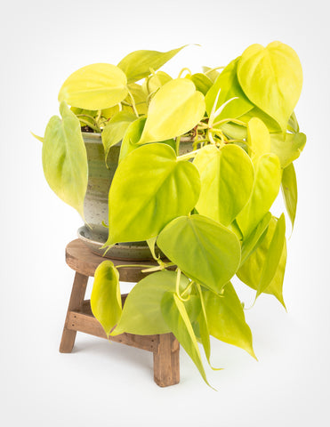 "Philodendron Heredaceum 'Lemon Lime' - Heartleaf Philodendron 6"" - Pistils Nursery"