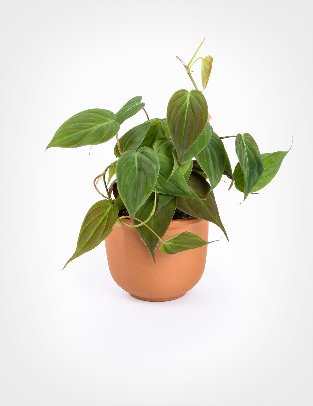 Philodendron Micans Shop Aroids Specimen Plants Pistils Nursery The heart shaped leaves of to get the best out of the 'micans' plant, grow in a hanging basket in bright, indirect sunlight. philodendron micans