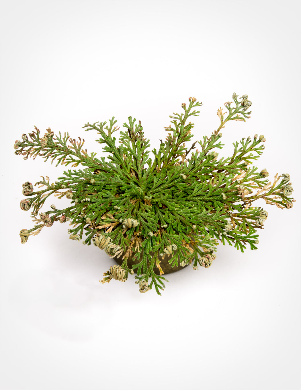 Resurrection Plant - Rose of Jericho - Pistils Nursery