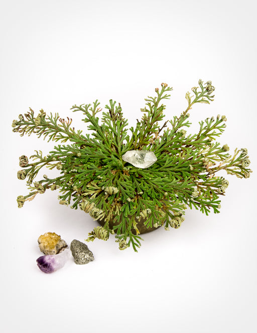 Resurrection Plant with Hidden Crystal - Rose of Jericho - Pistils Nursery