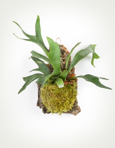 Staghorn Fern Cork Mount Wall Hanging Platycerium