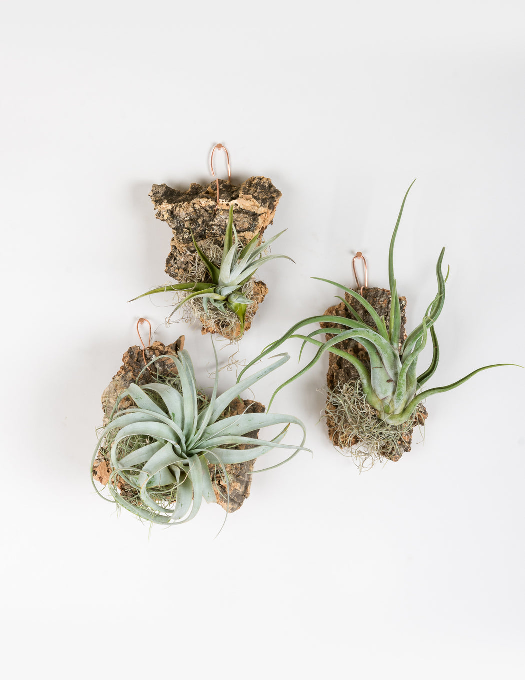 Tillandsia Cork Mount - Pistils Nursery - Air Plants - xerographica, caput mudaseae