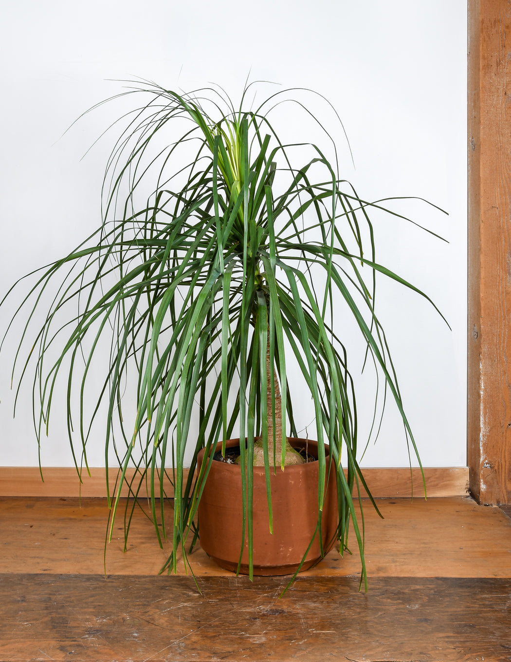 Beaucarnea sp. - Ponytail Palm - Pistils Nursery