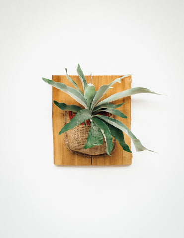 Mounted Staghorn Fern - Burlap - Medium - Pistils Nursery