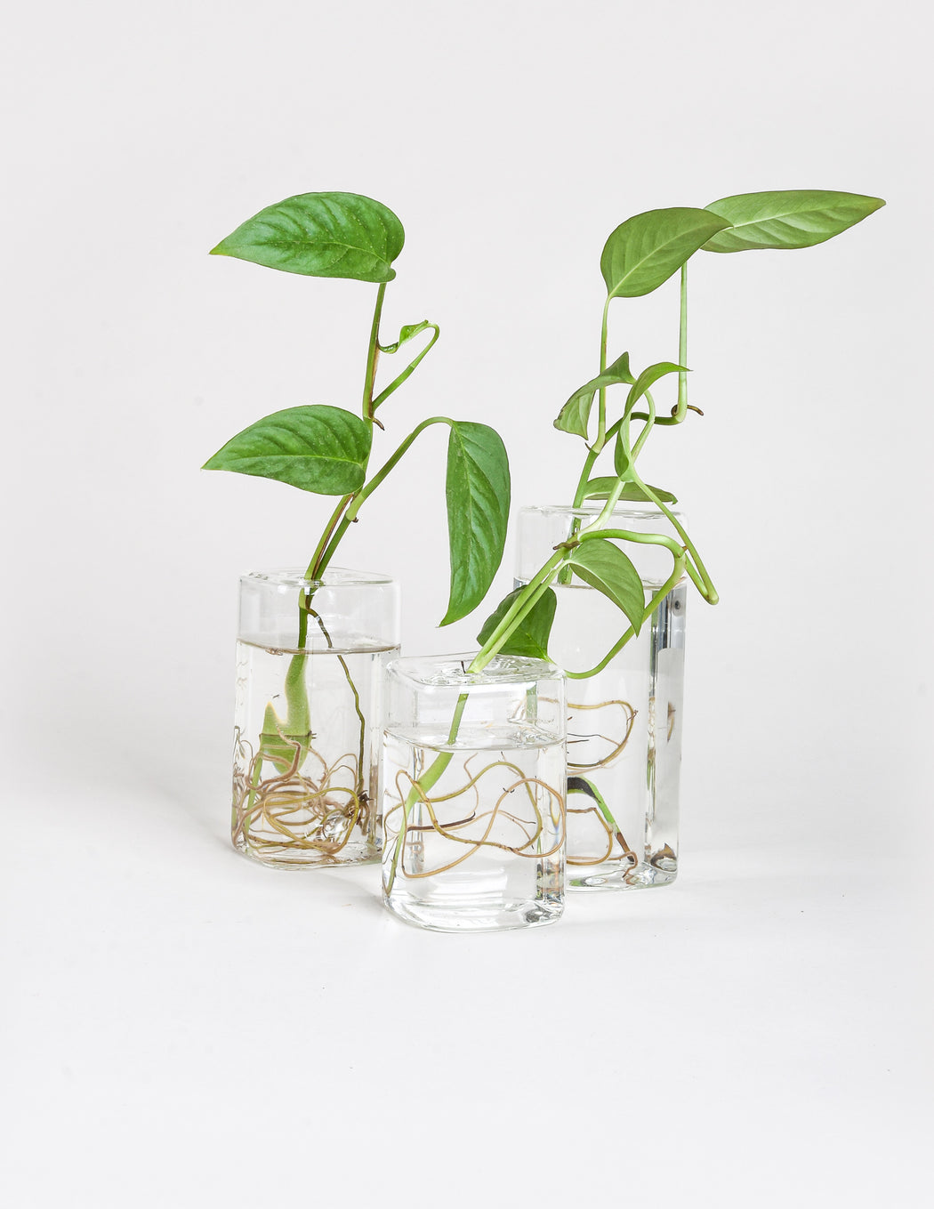 Glass Propagation Vase - Pistils Nursery - Monstera adansonii rooting in glass vessels