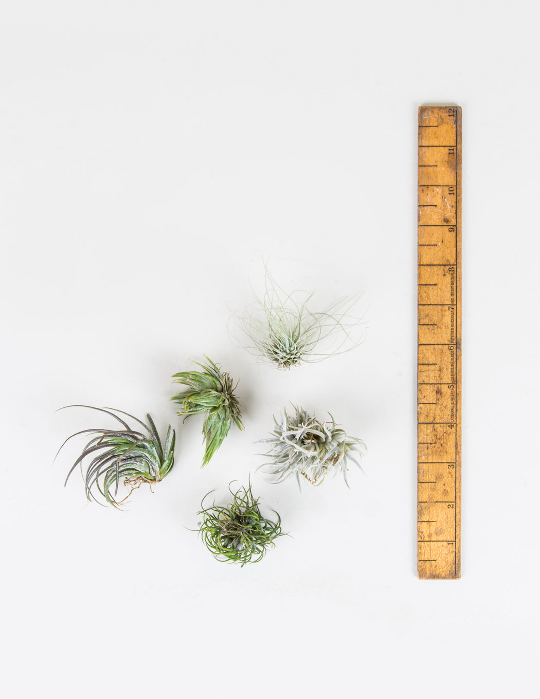 Miniature Tillandsia Assortment - Air Plants - Pistils Nursery