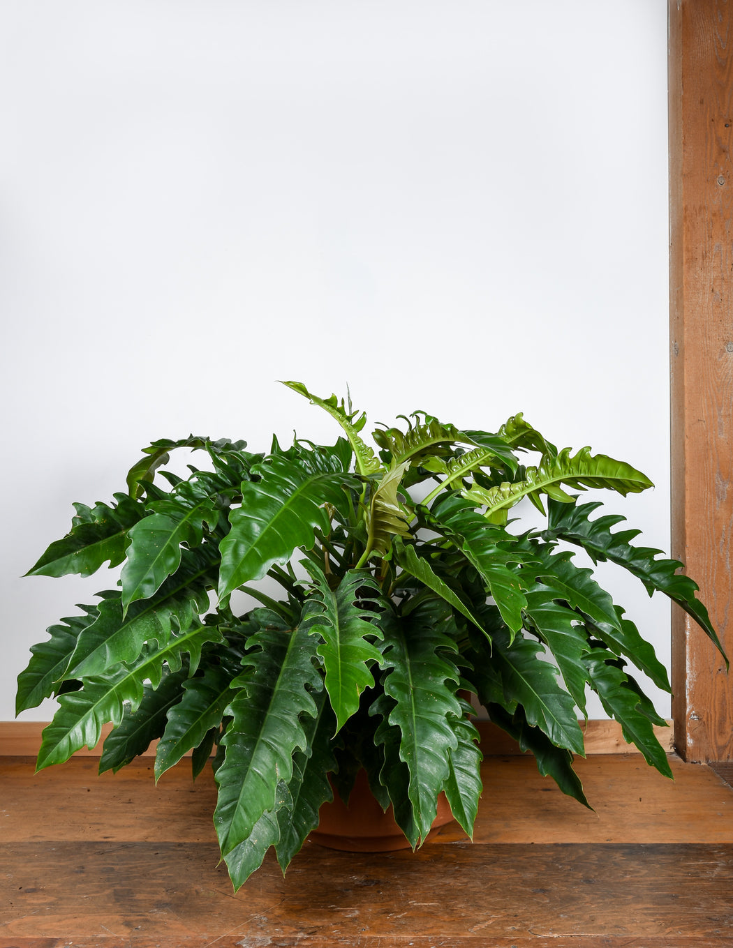 Philodendron Jungle BOogie - PIstils Nursery