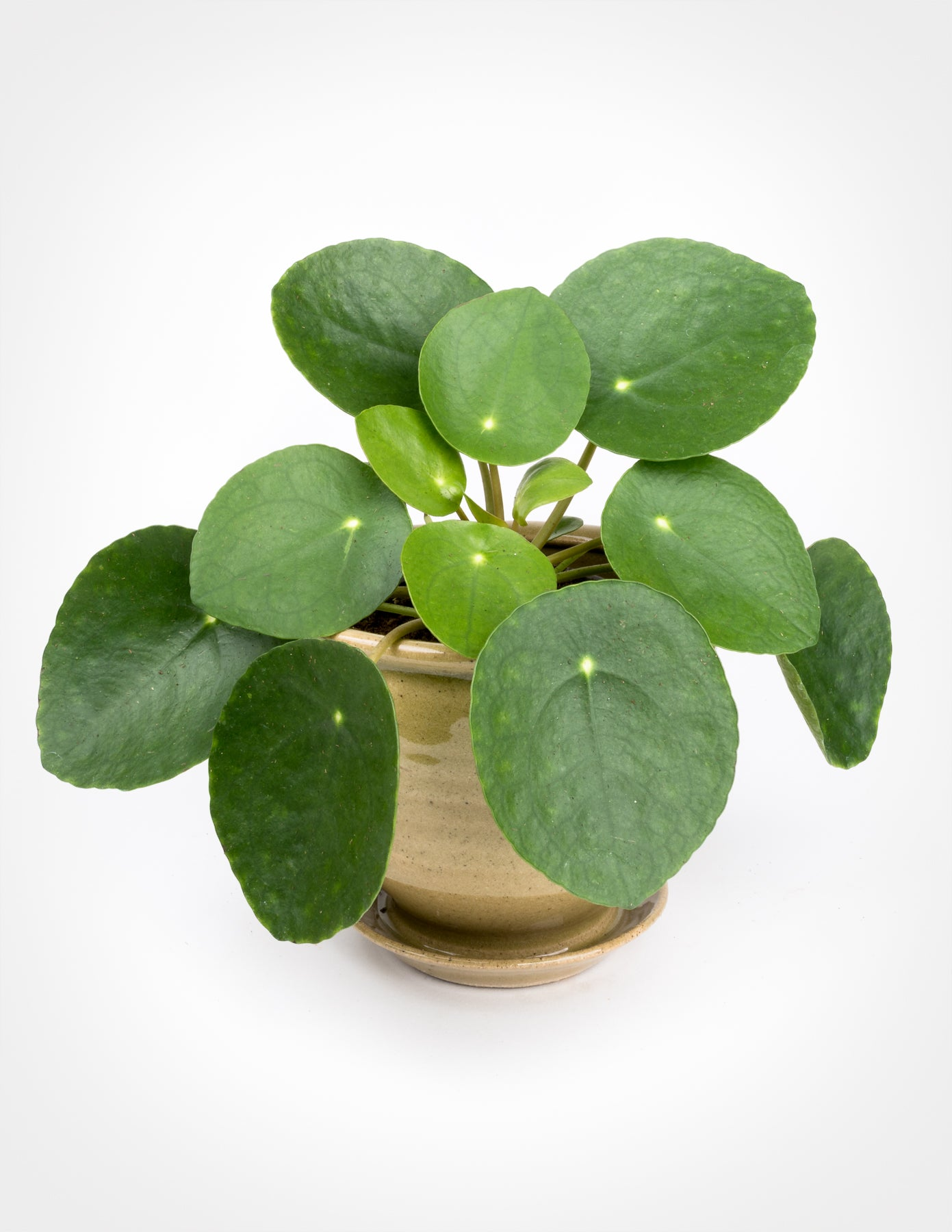 Online New Home Design Pilea Peperomioides Chinese Money Plant Pistils Nursery