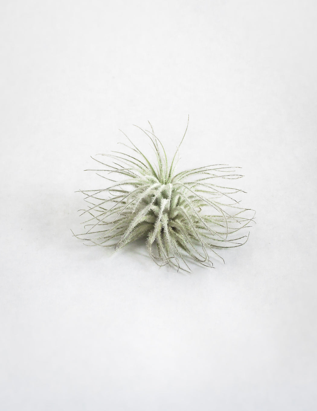Tectorum Air Plant - Small - Pistils Nursery
