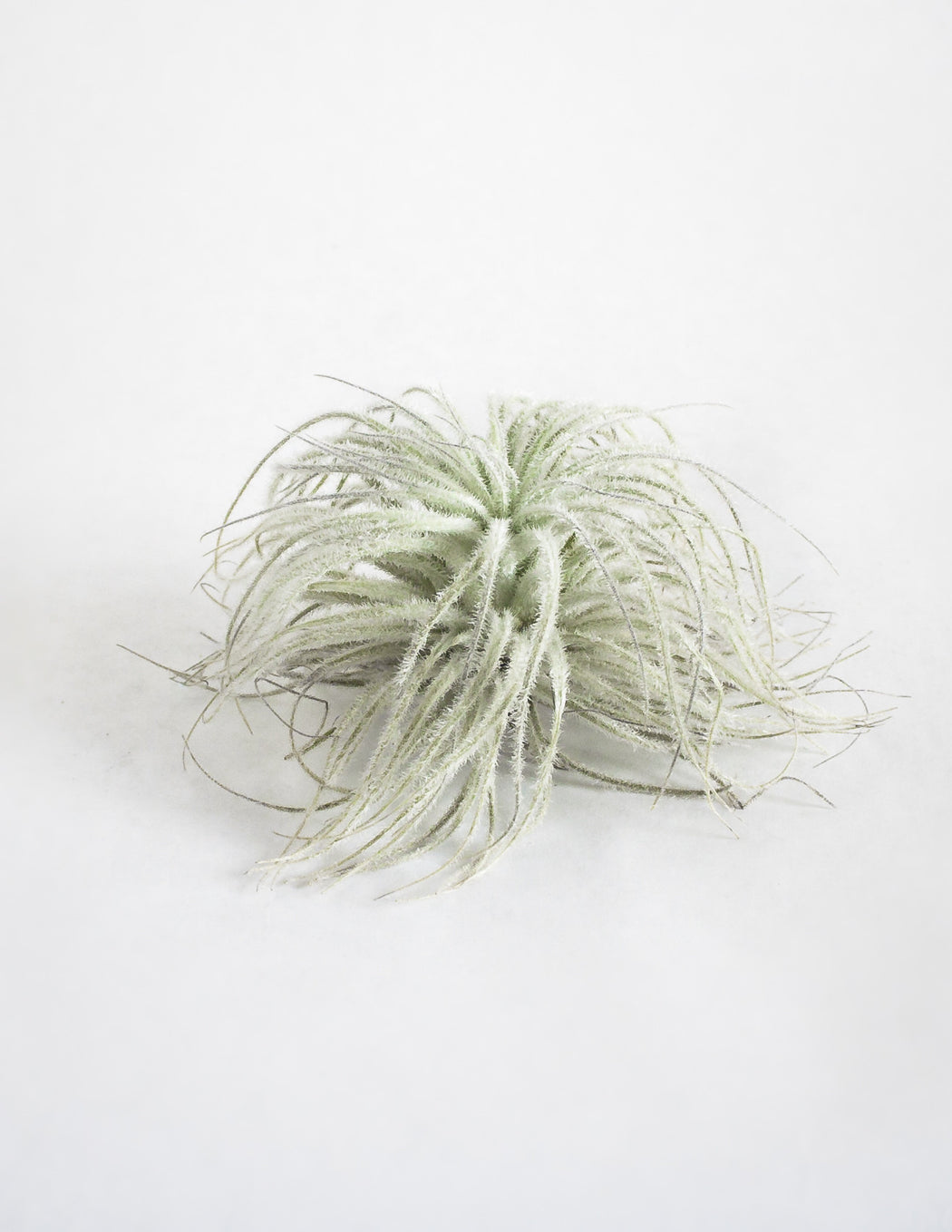 Tectorum Air Plant - Large - Pistils Nursery