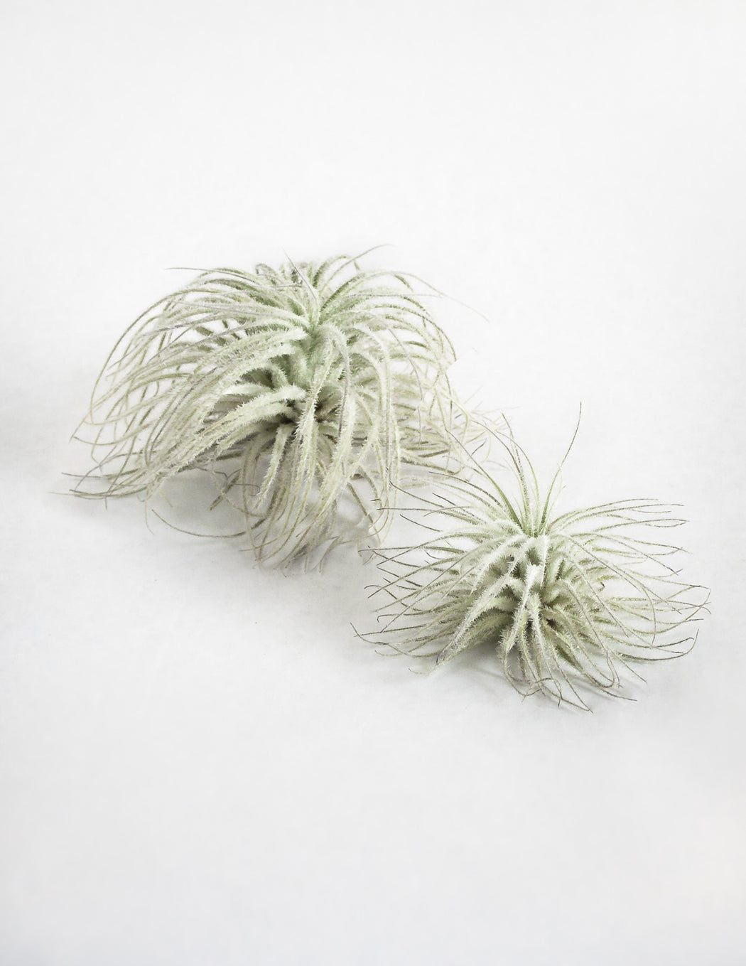 Tectorum Air Plant