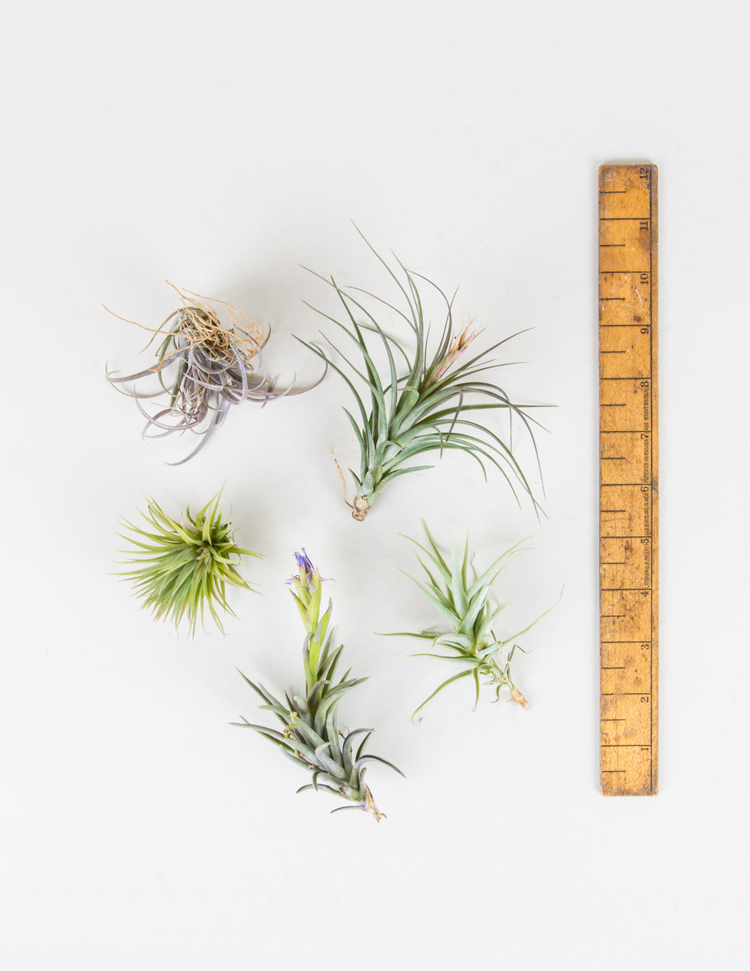 Tillandsia Assortment - Air Plants - Pistils Nursery