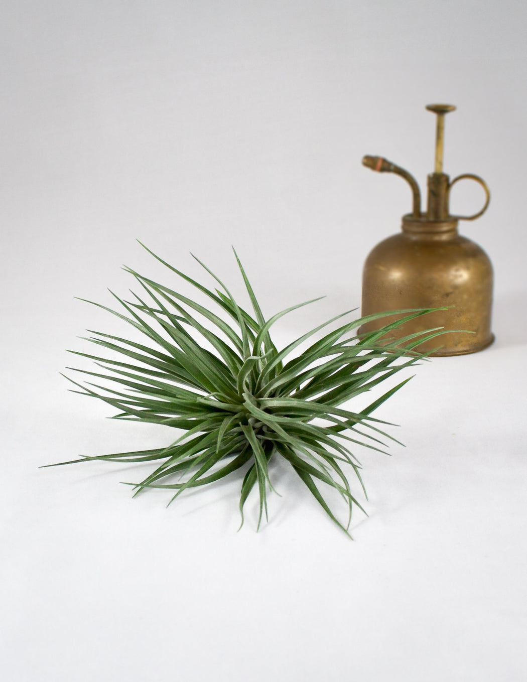 Tillandsia Stricta Black Beauty Air Plant - Brass Mister - Pistils Nursery
