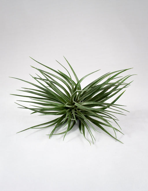 Tillandsia Stricta Black Beauty Air Plant - Pistils Nursery