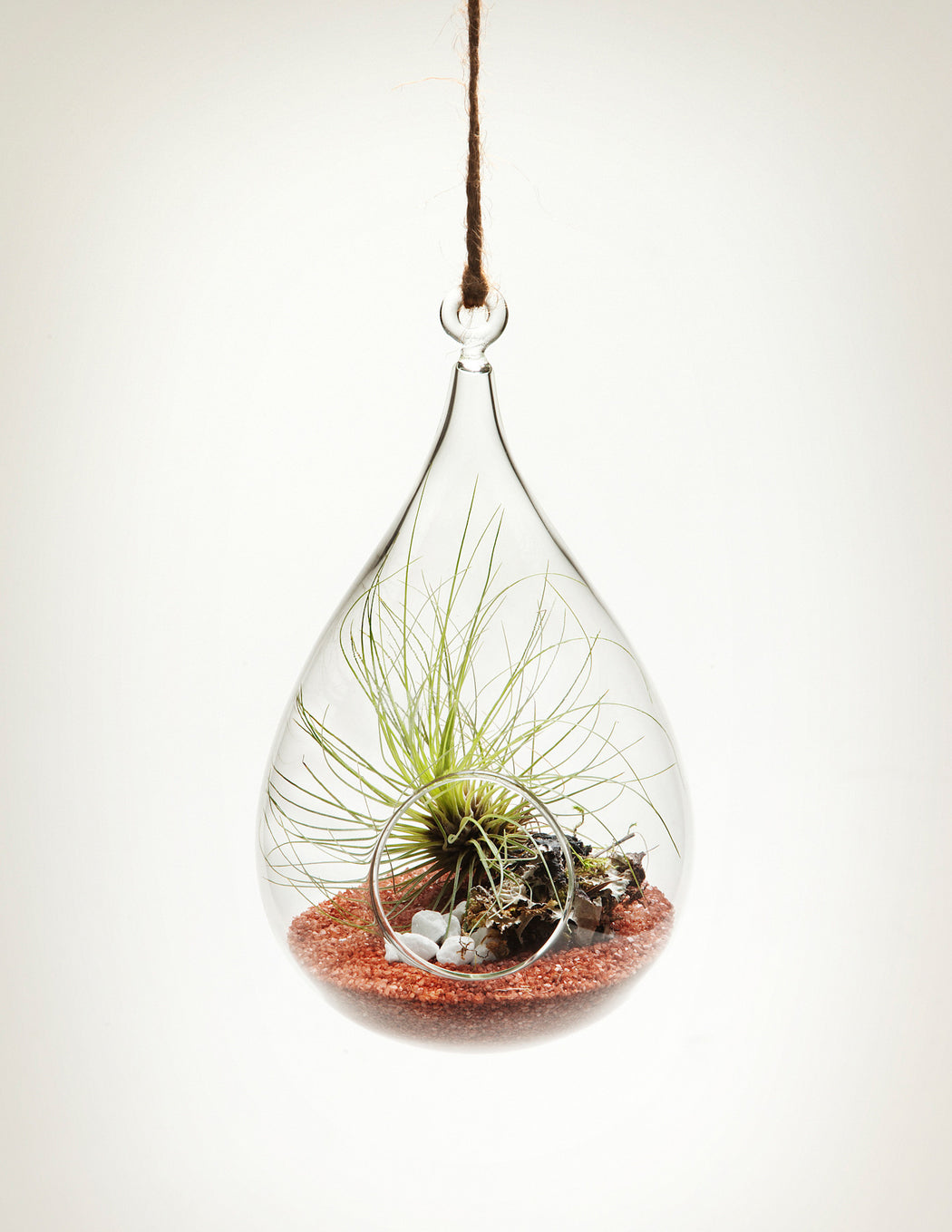 Hanging Aerium - Wren's nest with tillandsia air plant