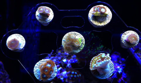 Zoa/Zoanthid and Paly/Palythoa Coral Frag Pack