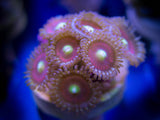 Zoanthid / Palythoa: Cat's Eye