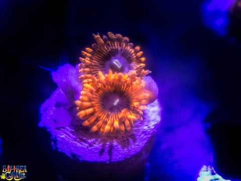Zoanthid / Palythoa: BAC Red Tarantula - Exclusive Lunar Eclipse Morph