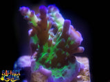 SPS Acropora - Beckers Tort/Purple Chronic