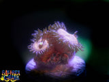 Zoanthid Coral: BAC Hello Kitty