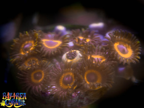 WYSIWYG - Zoanthid / Palythoa: Reese's Pieces Zoa