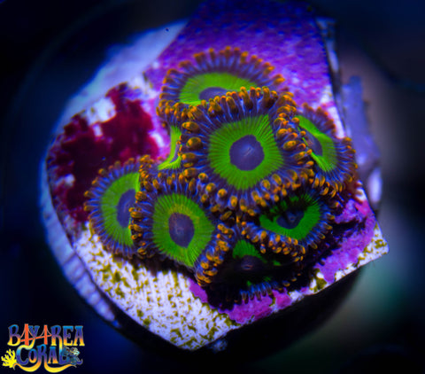 Zoanthid: Emeralds on Fire