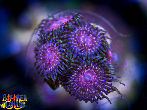 Zoanthid / Palythoa: Space Monsters