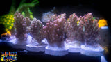 SPS Acropora - Strawberry Shortcake