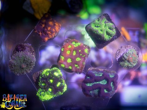 WYSIWYG: LPS Mixed Coral Frag Pack - LPS and Mushrooms