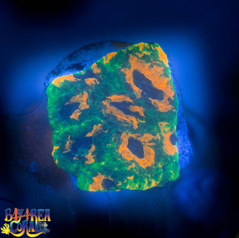 WYSIWYG - LPS - Rainbow Acan Echinata 4 - Green Orange Yellow