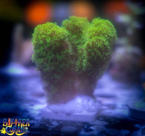 WYSIWYG: Pocillopora Coral - Neon Green 1