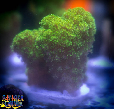 WYSIWYG: Pocillopora Coral - Neon Green 2