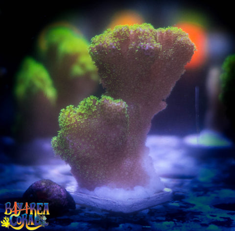 WYSIWYG: Pocillopora Coral - Neon Green 4