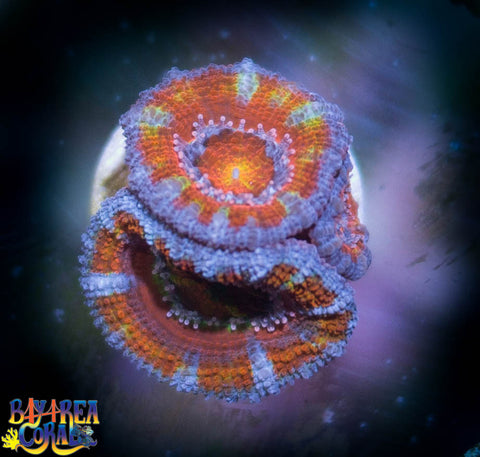 WYSIWYG - Acan Lord - Rainbow Red 9
