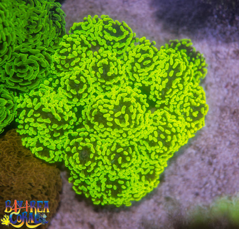 WYSIWYG - LPS - Neon Green/Yellow Branching Hammer Coral Colony