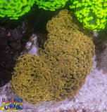 WYSIWYG - LPS - Orange Branching Hammer Coral Colony