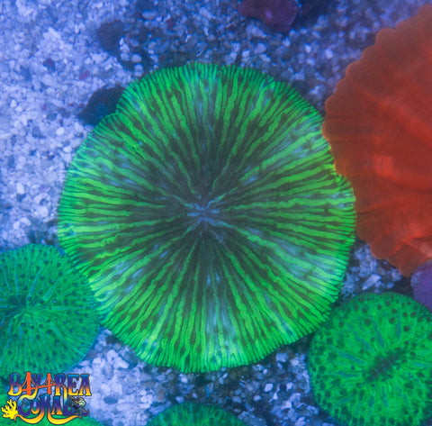 WYSIWYG Lime Plate Coral - 3.5""