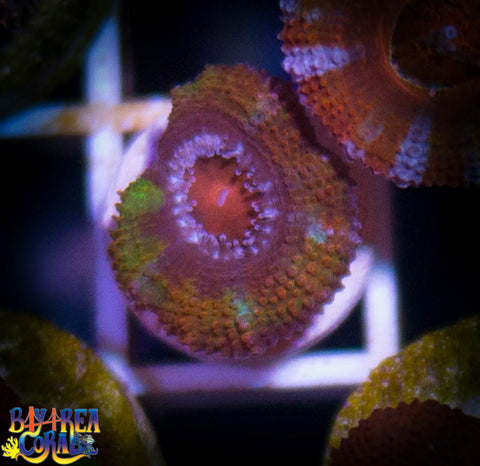 WYSIWYG - BAC Willy Wonka Rainbow Acan Lord Coral Frag