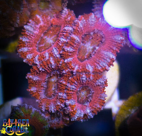 WYSIWYG - BAC Cotton Candy Acan Lord Coral Frag