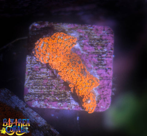 WYSIWYG: Forest Fire Digitata Coral Frag SPS