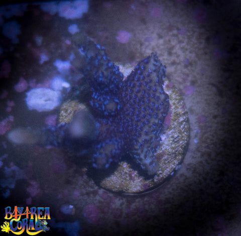 WYSIWYG - German Blue Digitata SPS Coral Frag