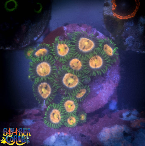 WYSIWYG - Jesters Zoa Paly Coral Frag