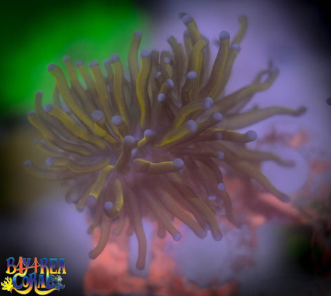 WYSIWYG - Gold Torch Coral Purple Tips Frag