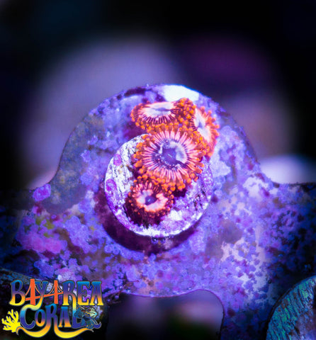 WYSIWYG - Zoa Paly Utter Chaos Coral Frag