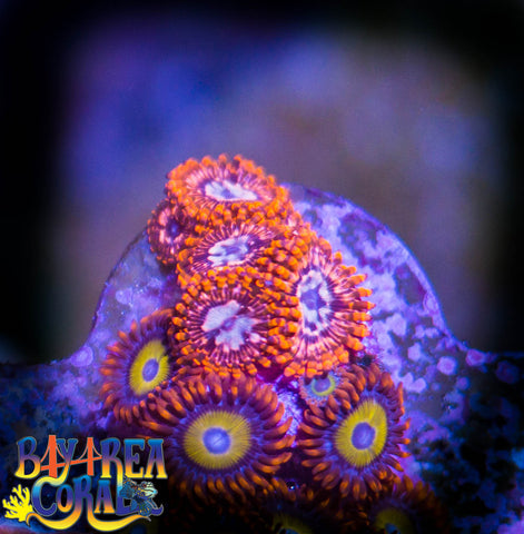 WYSIWYG - Zoa Paly Utter Chaos BBEB Coral Frag