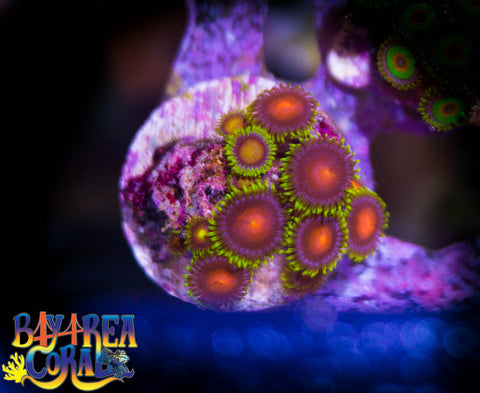 WYSIWYG - Zoa Paly Yellow Brick Road Coral Frag