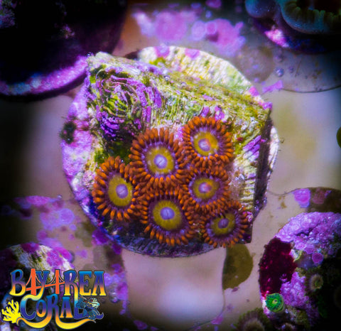 WYSIWYG - Zoa Paly BBEB Coral Frag